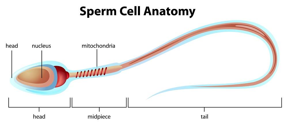 anatomi sel sperma sehat